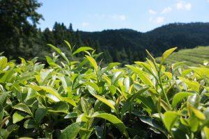 緑茶と生活習慣病